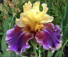 "1 Tall Bearded Iris ""Final Episode""-Reblooming-Lg. Rhizome, size #1-Shipping Now"
