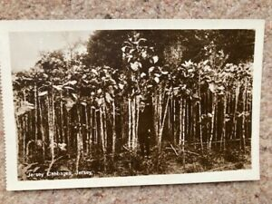 Postcard Jersey (walking stick) Cabbages 1940s postcard VGC