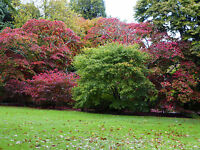 TOP THREE ACERS -65 SEEDS EACH Orange, red and purple.Great autumn colours