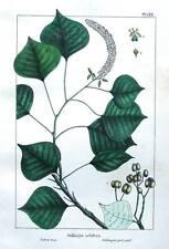 STILLINGIA SEBIFERA, TALLOW TREE, Antique Botanical  Tree Print c1850