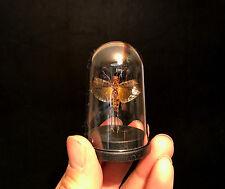 Cabinet de curiosités Globe Insecte Sauterelle Calaptenopsis glaucopsis!