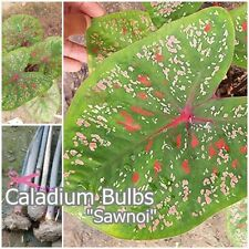 Caladium Bulb Queen of the Leafy Plant ''Sawnoi'' Colourful Tropical From Thai