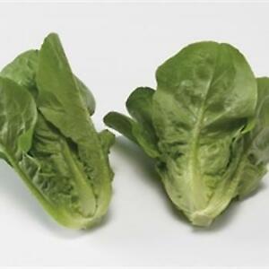 Lettuce - Vailan - 500 Seeds