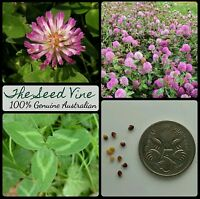 500+ ORGANIC RED CLOVER SEEDS (Trifolium pratense) NON GMO Livestock Medicinal