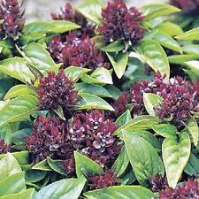 Herb Basil Thai - Appx 500 seeds