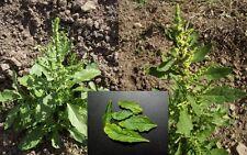 Epazote Herb , Chenopodium ambrosioides 150 Seeds, Non-GMO