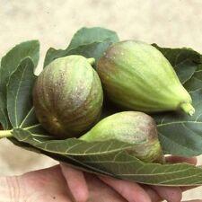 Fig (Ficus) Brown Turkey Fan Trained 1.40 cm tall Grown In a 20 litre Pot