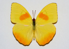 PHOEBIS PHILEA  10 A1, EXTRA LARGE SIZE, Unmounted Males - Costa Rica