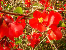 2x Japanese Quince CHAENOMELES JAPONICA edible fruit hardy flowering shrub
