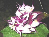 🔥 Datura blackcurrentswirl 15 Samen * Engelstrompete * fach gefüllt für Balkon