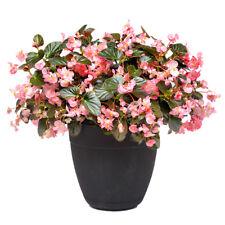 10 pcs Begonia  'Pink'  seeds(coating) bonsai Flower