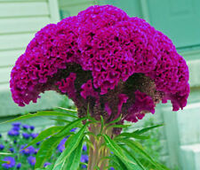 HUGE HOT PURPLE Brain Head Celosia!  3-4 FT TALL! 50 SEEDS ! Comb.S/H!