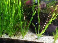 6 Corkscrew Vallisneria Val Live Aquarium Plants background fish shrimp moss