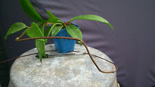 Bouture racinée rooted Cutting Hoya Pubicalyx Red Button (5)