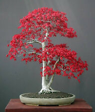 Japanese Red Maple Acer palmatum atropurpureum 50  Seeds Bonsai or Feature