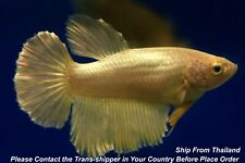 Gold female Halfmoon Tropical betta fish #B271/ 3.5 mo/ body size 1.5''