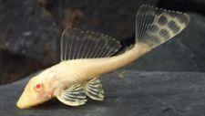 New listing Albino Common Pleco
