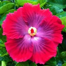 * Ruby Tuesday * Rooted Tropical Exotic Hibiscus Plant*Ships In Pot*