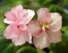~ Pretty African Violet Live Baby Plant *Ness Sheer Peach* ~Semiminature