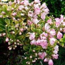 Buxus Flowerings