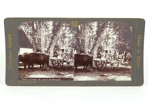 """Canadian Scenery Stereoview """"Oxen, St. Ann's de Beaupre."""" Nerlich & Co ©1905"""