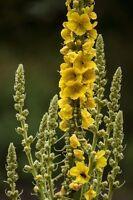 exotisch Garten Pflanze Samen winterhart Sämereien Exot Staude KÖNIGSKERZE