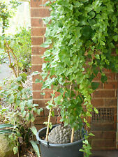 "1x Dioscorea elephantipes  (elephant's foot Hottentot bread) plant Bonsai pot 4"""