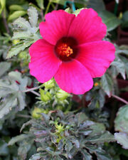 Monarch Rosemallow Hibiscus radiatus 10 Seeds (Free Us Shipping)
