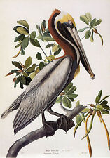 Audubon Reproductions: Watercolor Study - Brown Pelican -  Fine Art Print