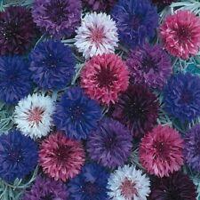 Cornflower Crown double mixed - Centaurea - Appx 200 seeds Annuals & Biennials