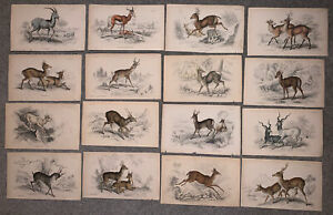 Collection Of Antique Lizard Prints x16 Roebuck, Muntjac, Antelope, Stag, Deer