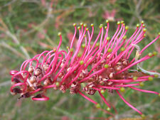 Grevillea Poorinda Enchantment in 75mm supergro tube native plant screen hedge