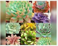 50 seeds ECHEVERIA mix, rare exotic succulent seeds pink blue