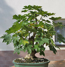 5x Bonsai Trees Acer platanoides Norway Maple bare roots