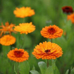 Common or Pot Marigold - Calendula officinalis - 100 Seeds - Beautiful & Useful