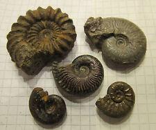 #J129 Mineralien Sammlung / fossil / Konvolut 5x Pyrit Limonit Ammoniten 20-42mm