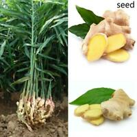 100Pcs Ginger Seeds Jengibre Zingiber Seed 4 Seasons Garden Plant Farm Y7U6