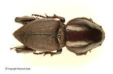 Hypocephalus armatus - male, Rare, HUGE!!! 57mm, A2