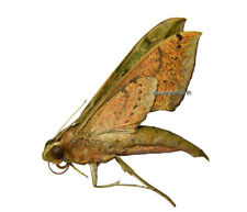 Unmounted Butterfly/Sphingidae - Xylophanes docilis, FEMALE, Bolivia, A1/A-