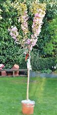 Prunus Kanzan Flowering Cherry Tree 5 Year Old  18L Half Standard Pink Flowers