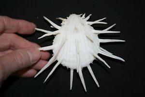 Imperial Thorny Oyster seashell (D)