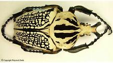 Goliathus orientalis orientalis - male, nice +75mm