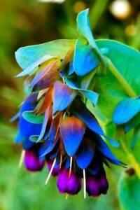 BLUE SHRIMP Seeds - Cerinthe Major Purpurascens  - Unusual Rare - Easy to grow!