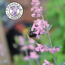 Rare Nepeta Catmint subsessilis Pink Dreams Flower  10 seeds UK SELLER