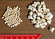 75 WHITE POPPING SORGHUM Bicolor Snack Vegetable Flour Grain Seeds *Combined S/H