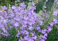 Penstemon- Lavender-  100 Seeds- BOGO 50% off SALE