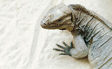 Lámina-Komodo Dragon caminando en la arena (imagen Cartel Animales Lagarto De Arte)