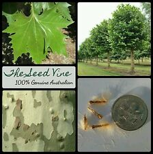 50+ LONDON PLANE TREE SEEDS (Platanus x acerifolia) Shade Ornamental Popular