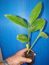 ~Malay Rose~ Etlingera venusta STUNNING TORCH GINGER Sml Potd Starter Plant