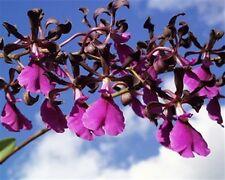 Encyclia cordillera var rosea, orchids species.